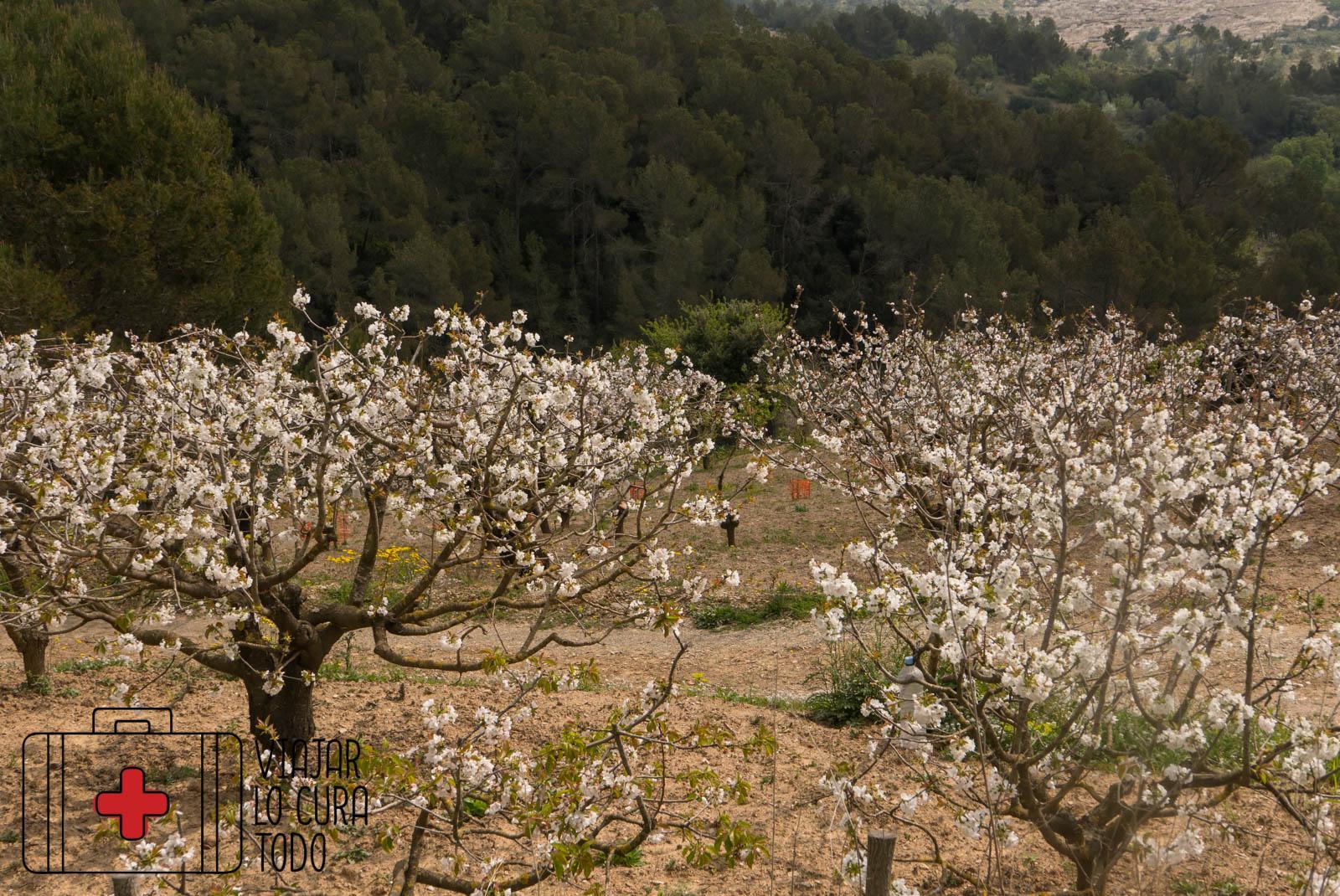 ¿Dónde ver cerezos en flor en Barcelona?