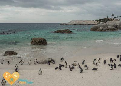 Boulder's beach penguins South africa