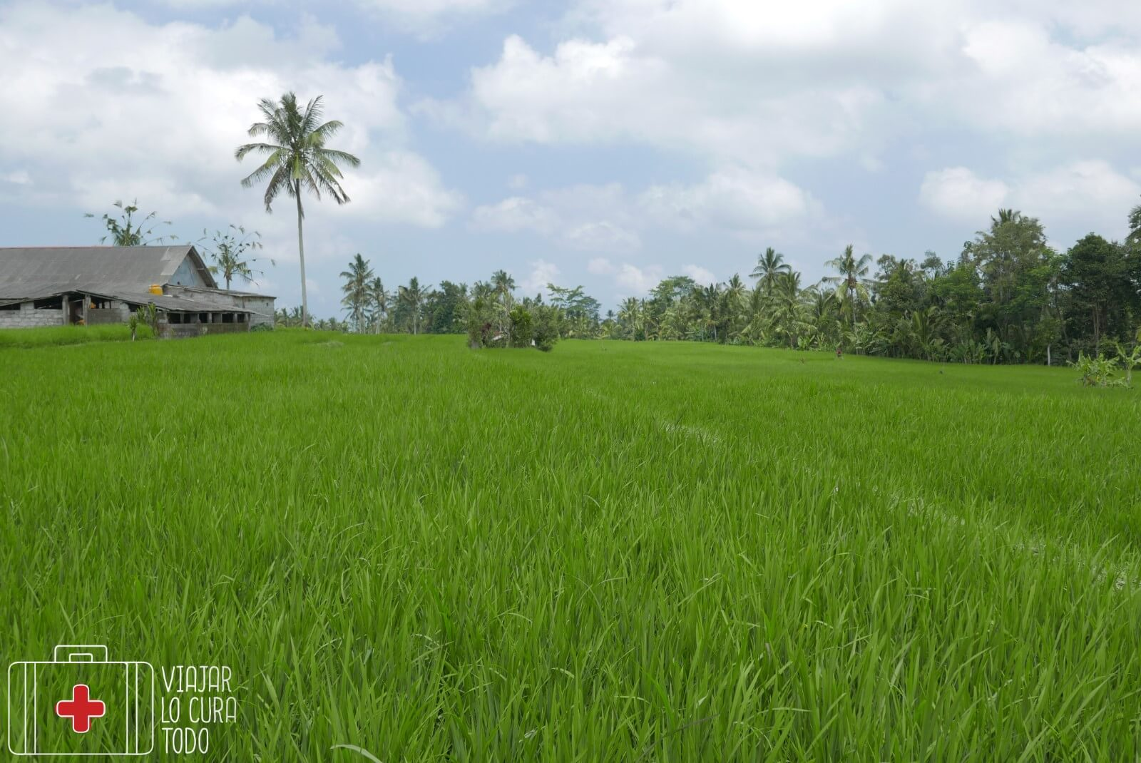 ubud bali ricefield