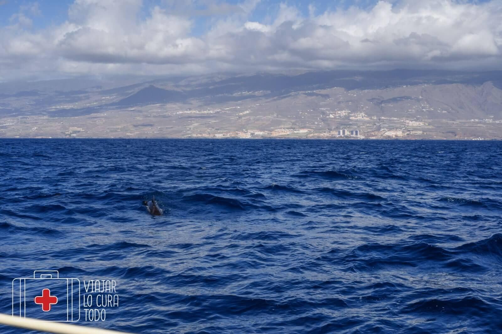 Avistamiento de delfines en libertad en Tenerife