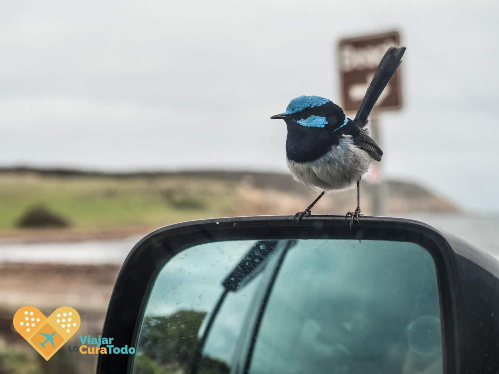 pájaro azul en Kangaroo Island