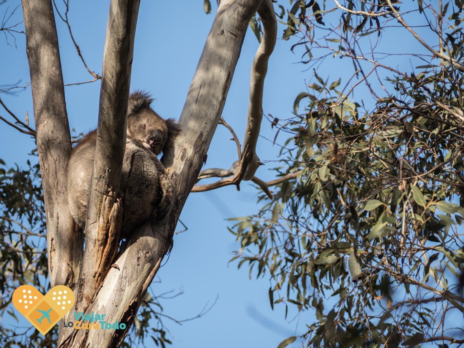 Koala en kangaroo island